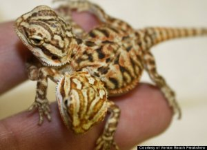 lizard with two heads