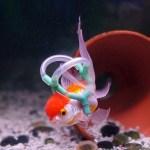 Goldfish given life jacket to help it swim