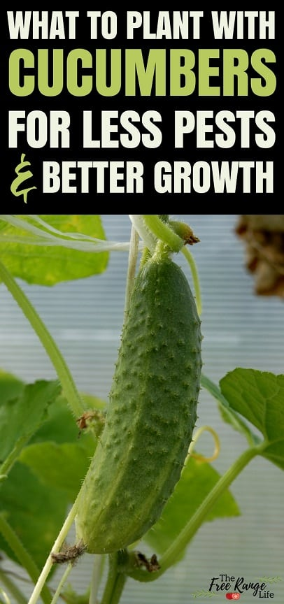 The Best Companion Plants for Cucumbers in the Backyard Garden
