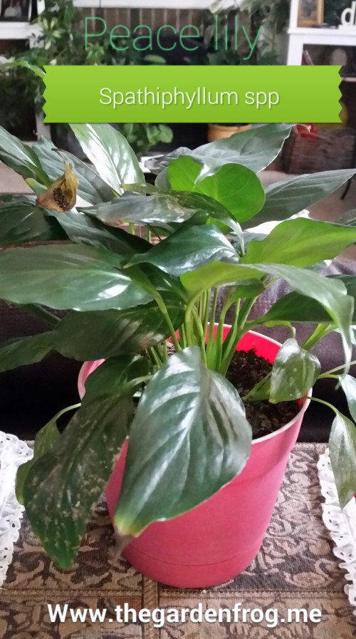 Medium Of Peace Lily Brown Leaves