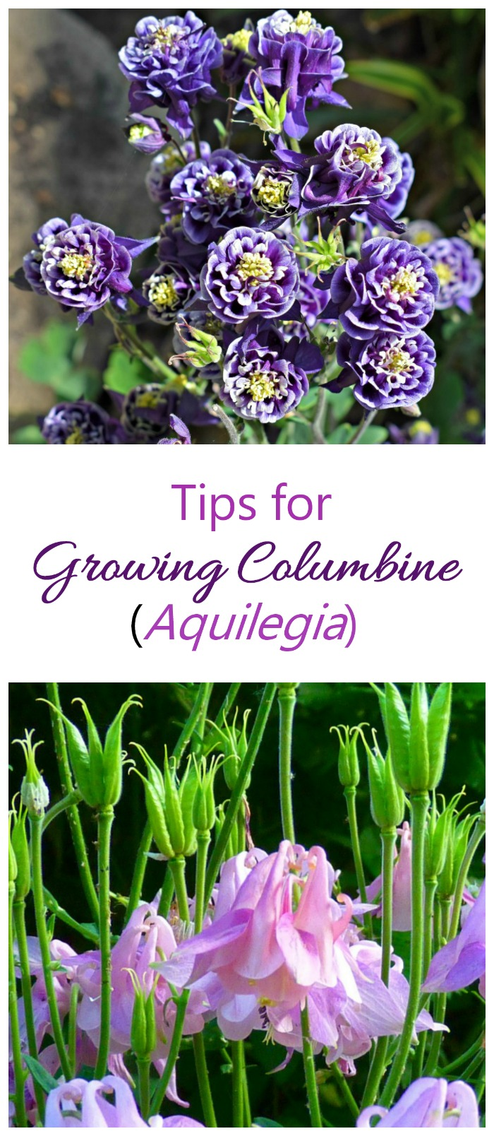 Vegetables To Grow In Your Garden And Summer Recipes Auto Rodin Coil Wiring Diagram Growing Columbine