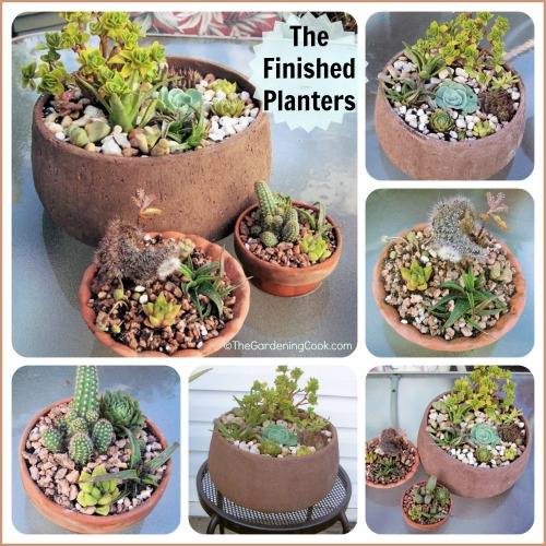 Repotting Succulents - An Exercise In Frustration - The Gardening Cook