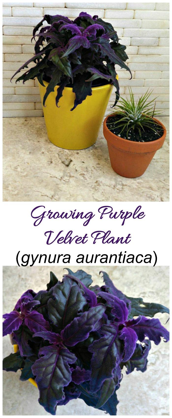 Large Of Purple Passion Plant