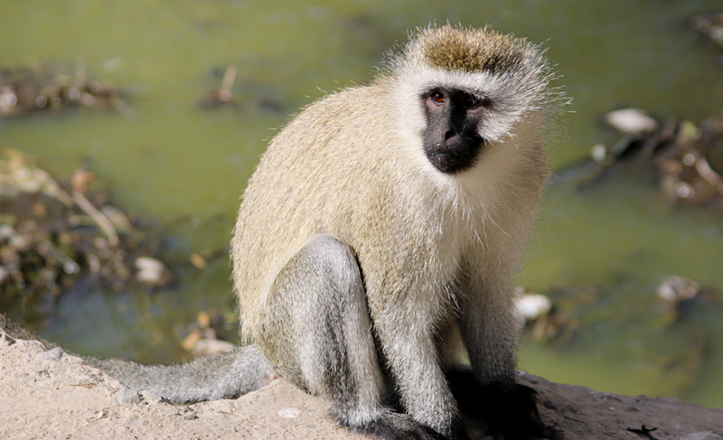 Vervet Monkeys At Lake Nakuru National Park In Kenya A
