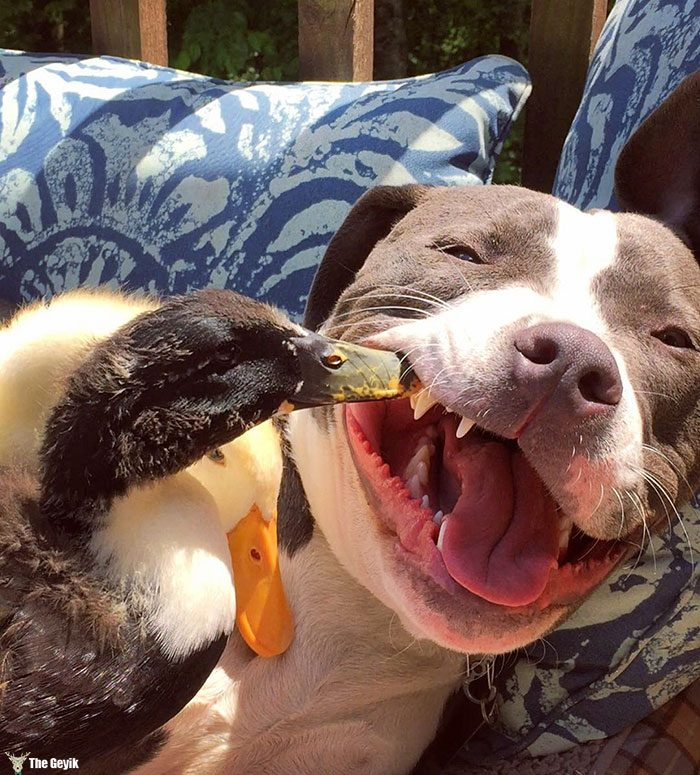 unusual-animal-friendship-dogs-cat-ducks-kasey-and-her-pack-29
