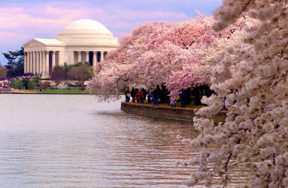 Cherry Blossoms Everywhere