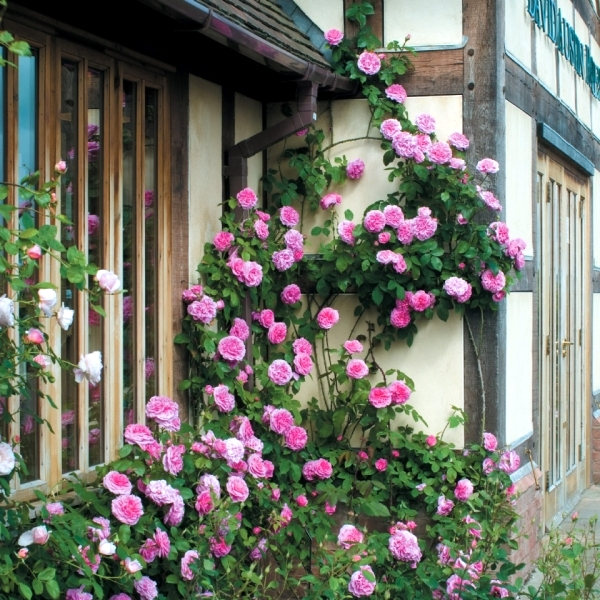 spring-rose-cut-cut-and-keep-climbing-roses-0-390