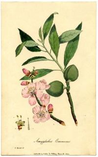 Botanical Prints on Pinterest   Botanical Illustration ...