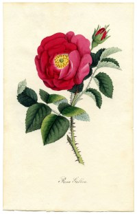 Rose Botanical Print Download - Exceptional! - The ...