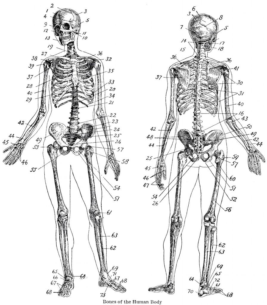 back skeleton diagram