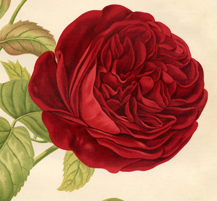 Red rose botanical printable best ever the graphics fairy