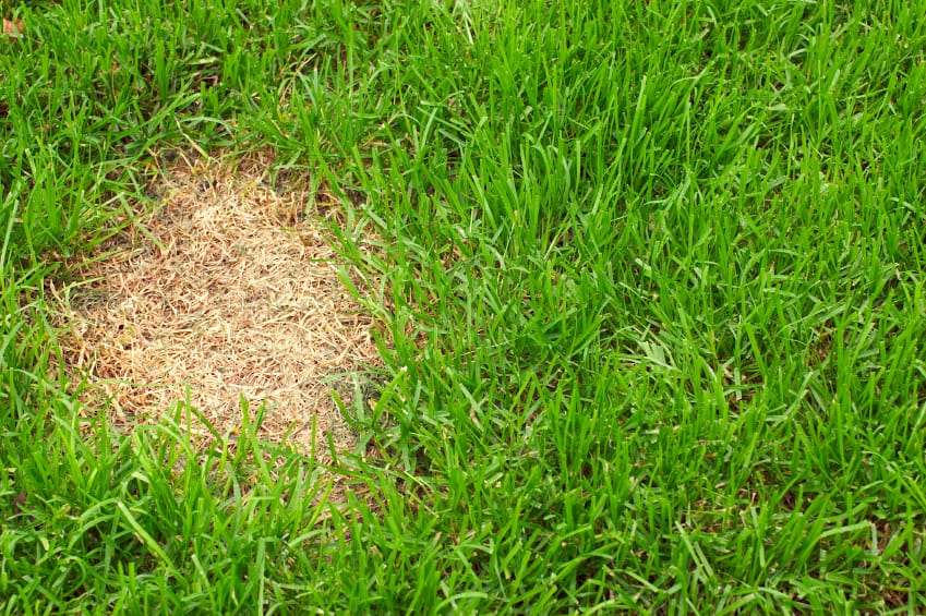Identifying Summer Lawn Diseases The Grass Outlet Texas