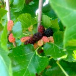 Mulberries 3