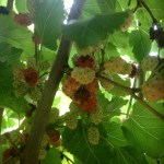 Mulberries 5