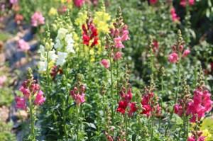 Abma-Flowers3SM