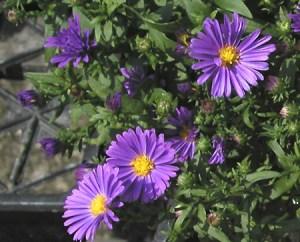 Dark Purple Asters