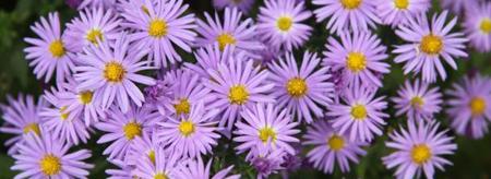 Wild Light Purple Asters