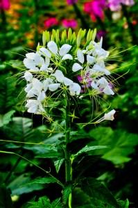 June Gardening: Cleome