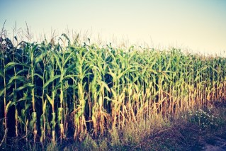 cornfield gmo and monoculture