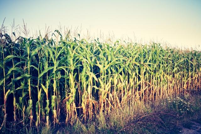 cornfield gmo and monoculture
