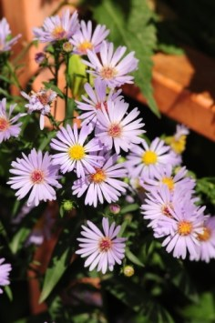 asters July gardening
