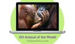 GD Animal of the week orangutan