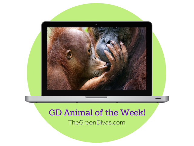 GD Animal of the week orangutan