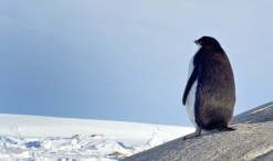 penguin on ice in winter