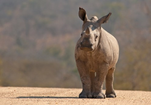 extinction: white rhino