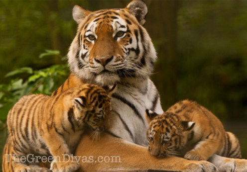 tiger and cubs on extinction countdown post