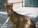 Breed Domestic Largest House Cat