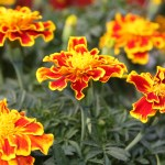 marigolds feature image