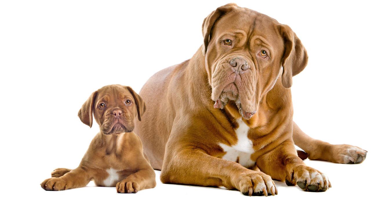 Image For Dogue De Bordeaux For Sale