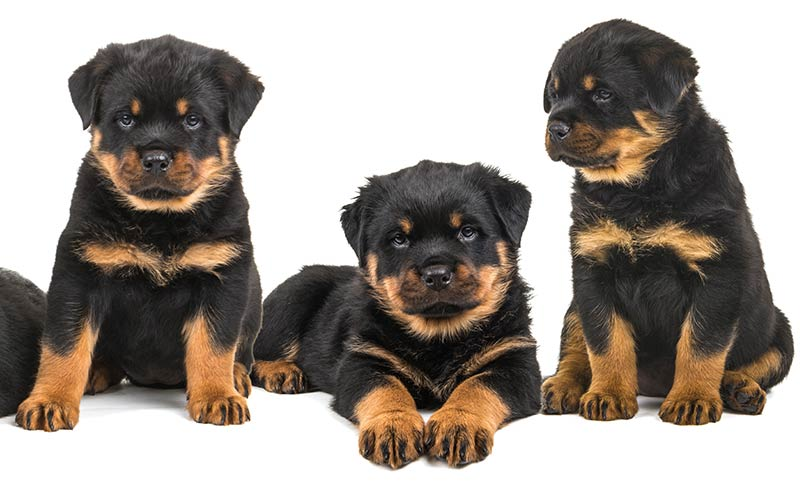 Cute Rottweiler Puppy Wallpaper Rottweiler Names 100 Great Ideas For Naming Your Rottie