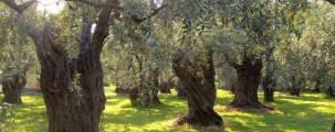 Olive_Trees_Orchard_4webbest.77152153_std
