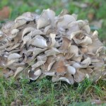 Maitake 101: A Valuable Mushroom   Herbal Academy   Maitake mushrooms are high in nutrients and are great for the immune system! Here's a delicious recipe as well as other ways to use this healthy food.