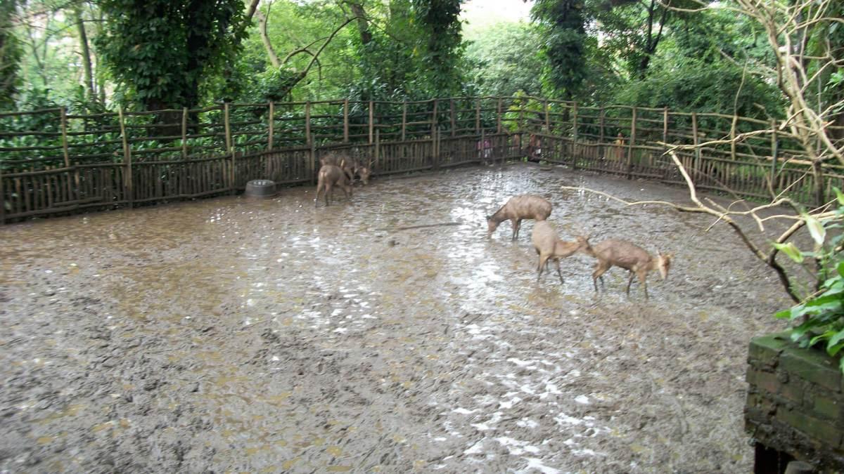 Muddy animals at Kebun Binatang Bandung Zoo