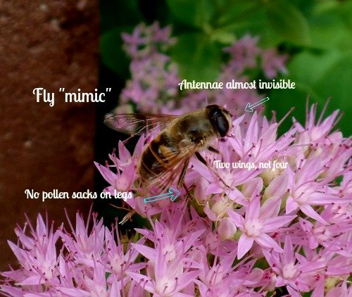 Fly Mimic - It is a pollinator too