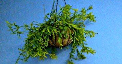 addicted to amaryllis bulbs the hypertufa gardener. Black Bedroom Furniture Sets. Home Design Ideas