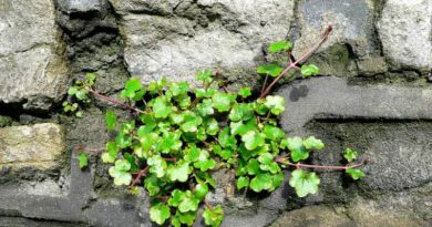 My Plant List: Kenilworth Ivy – A Tiny Vine