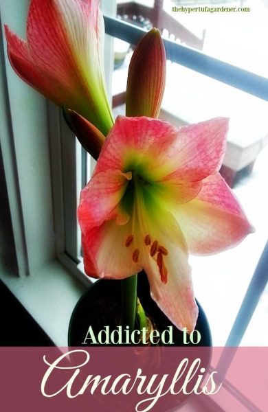 Addicted to Amaryllis bulbs - Blooming - The Hypertufa Gardener