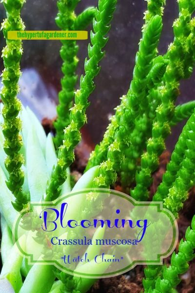 Blooming Crassula muscosa watch chain - The Hypertufa Gardener