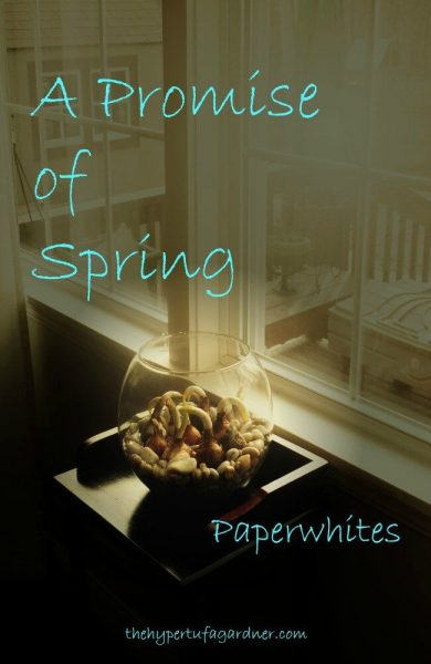 Paperwhite bulbs A Promise of Spring - The Hypertufa Gardener