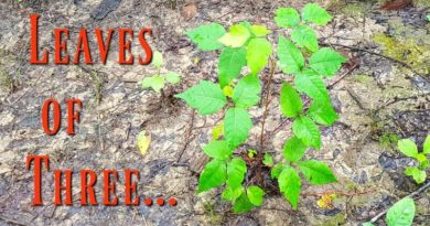 Leaves of Three - Poison Ivy Identification