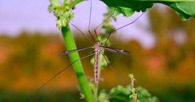 Texas sized mosquito - Just a Crane Fly