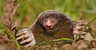 Are moles rodents? No