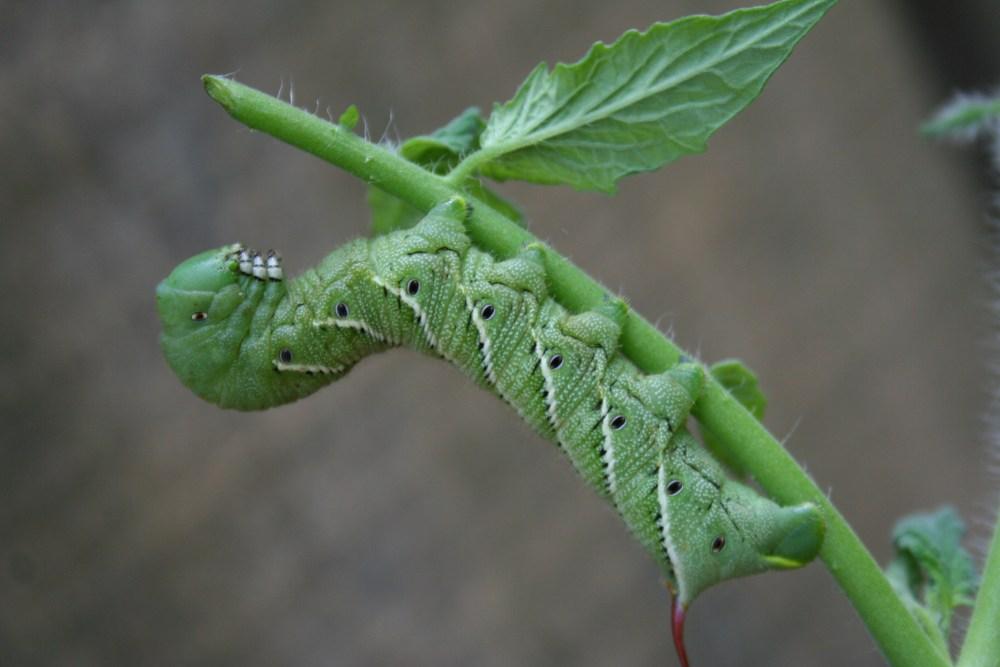 Tomato Hornworm (4/5)