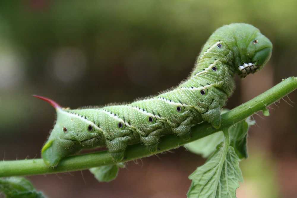 Tomato Hornworm (5/5)