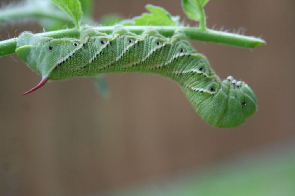 Tomato Hornworm (3/5)