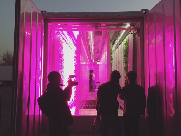 The view inside a Square Roots shipping container farm. The pink lights emulate daylight and save energy costs. (The Ink/Angel Au-Yeung)